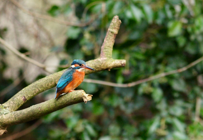 european_kingfisher1